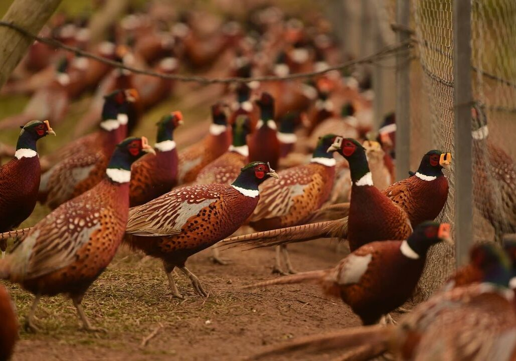 Onondaga Country pheasant release program